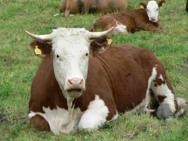 Red and white cow